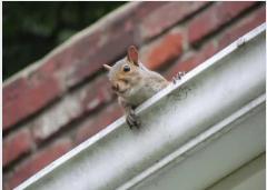 Garland squirrel control