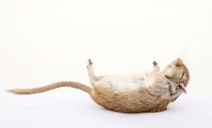 San Antonio exterminating rats