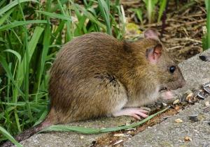 exterminating rats plano