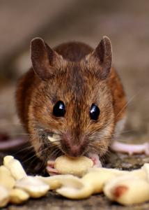 Dallas rodent control