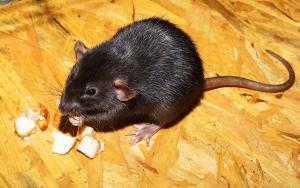 Austin exterminating rats