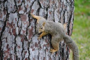Austin squirrel control