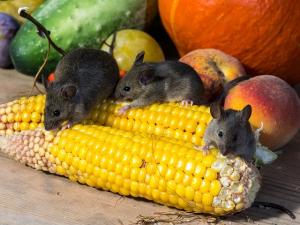 Forth Worth mice control
